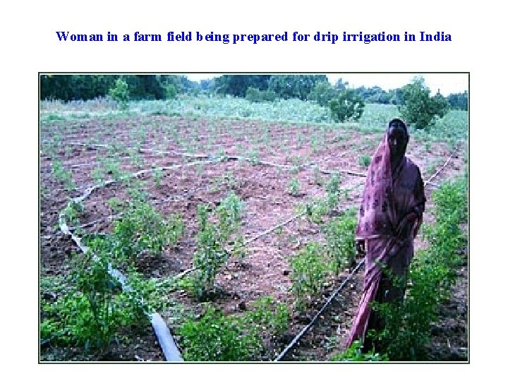 Woman in a farm field being prepared for drip irrigation in India