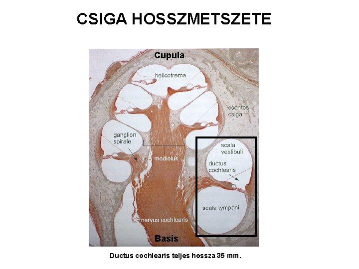 CSIGA HOSSZMETSZETE Cupula Basis Ductus cochlearis teljes hossza 35 mm.