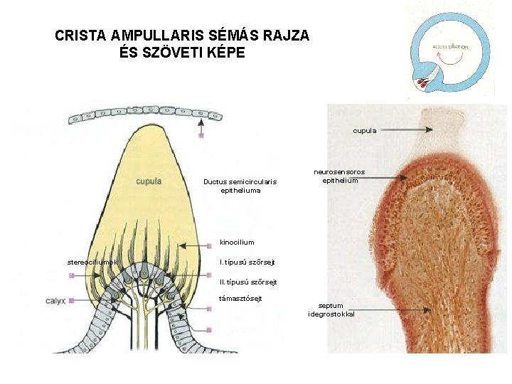 CRISTA AMPULLARIS SÉMÁS RAJZA ÉS SZÖVETI KÉPE cupula Ductus semicircularis epitheliuma neurosensoros epithelium kinocilium