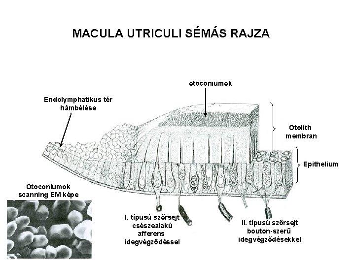 MACULA UTRICULI SÉMÁS RAJZA otoconiumok Endolymphatikus tér hámbélése Otolith membran Epithelium Otoconiumok scanning EM