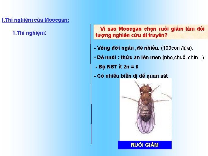 I. Thí nghiệm của Moocgan: 1. Thí nghiệm: Vì sao Moocgan chọn ruồi giấm