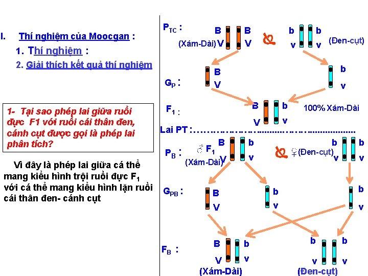 I. Thí nghiệm của Moocgan : 1. Thí nghiệm : 2. Giải thích kết