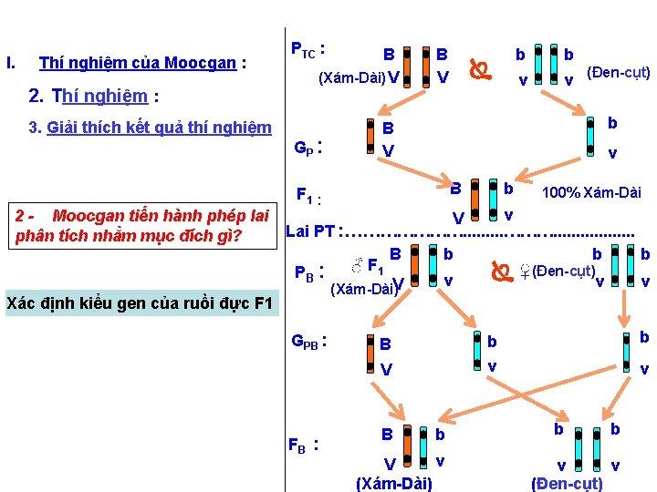 I. Thí nghiệm của Moocgan : 2. Thí nghiệm : 3. Giải thích kết