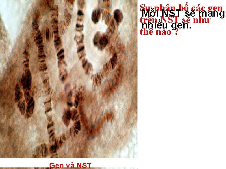 Sự phân bố các gen Mỗi NST sẽ mang trên NST sẽ như nhiều