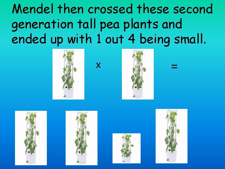 Mendel then crossed these second generation tall pea plants and ended up with 1