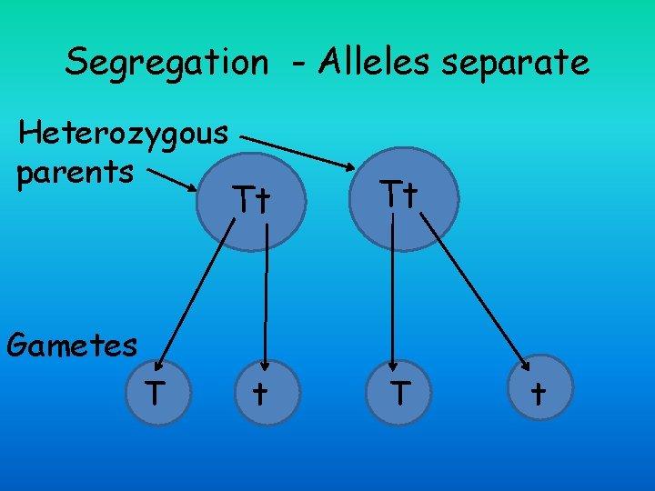 Segregation - Alleles separate Heterozygous parents Tt Tt t T Gametes T t