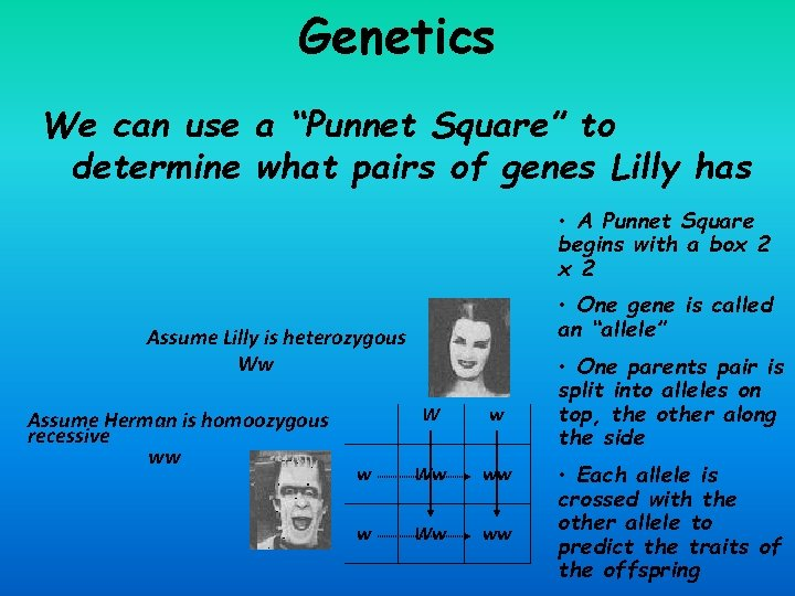 """Genetics We can use a """"Punnet Square"""" to determine what pairs of genes Lilly"""