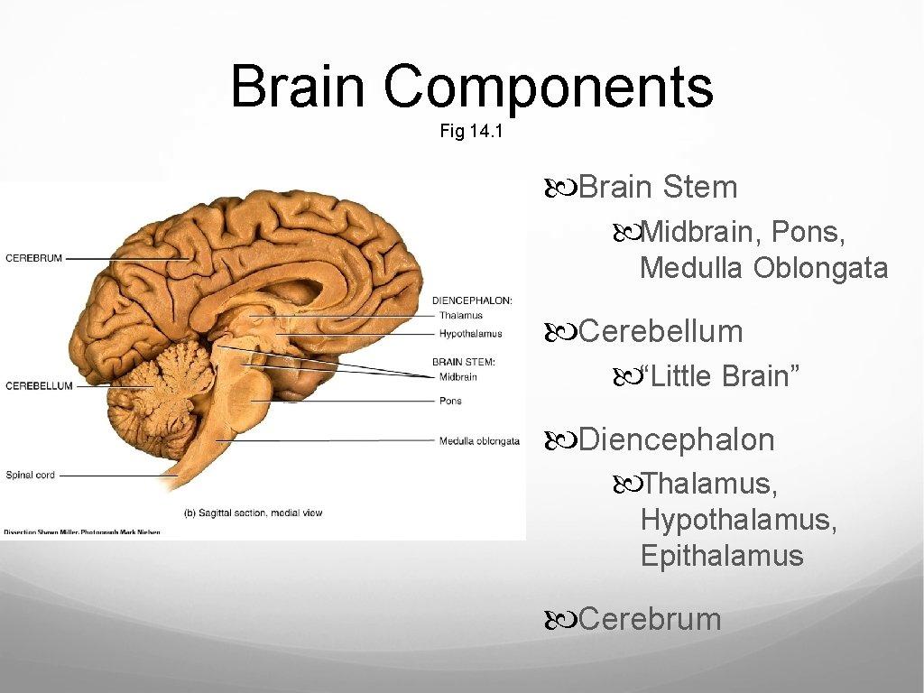 "Brain Components Fig 14. 1 Brain Stem Midbrain, Pons, Medulla Oblongata Cerebellum ""Little Brain"""