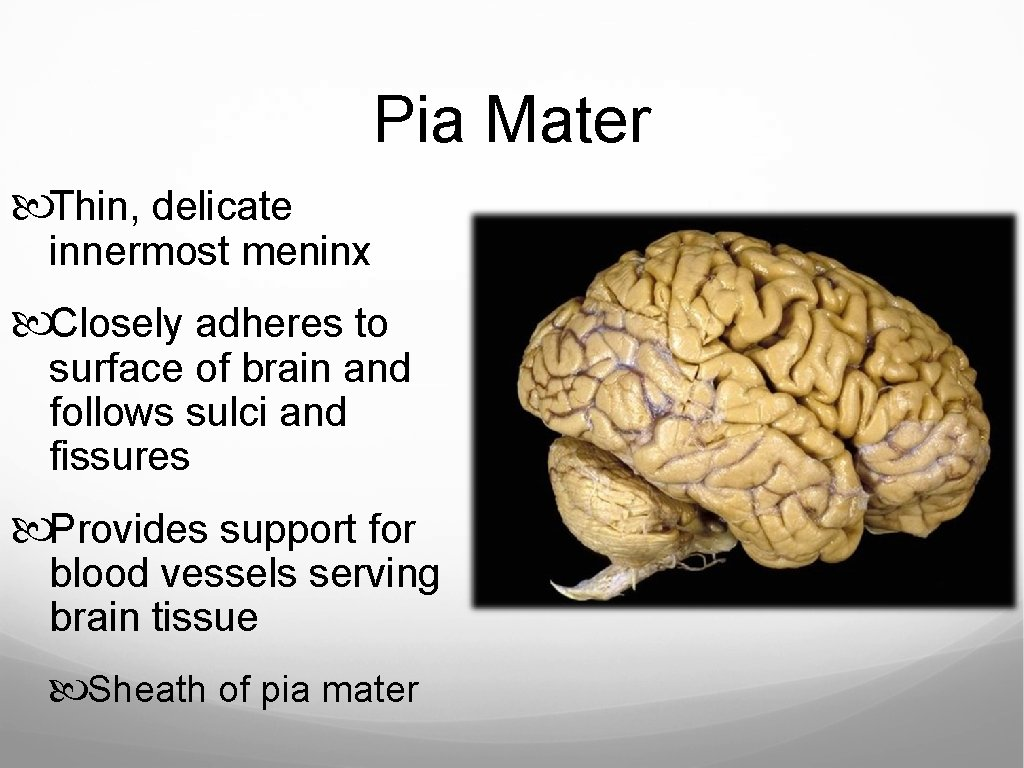 Pia Mater Thin, delicate innermost meninx Closely adheres to surface of brain and follows