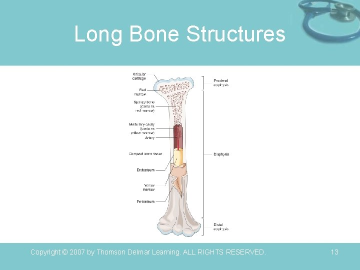 Long Bone Structures Copyright © 2007 by Thomson Delmar Learning. ALL RIGHTS RESERVED. 13