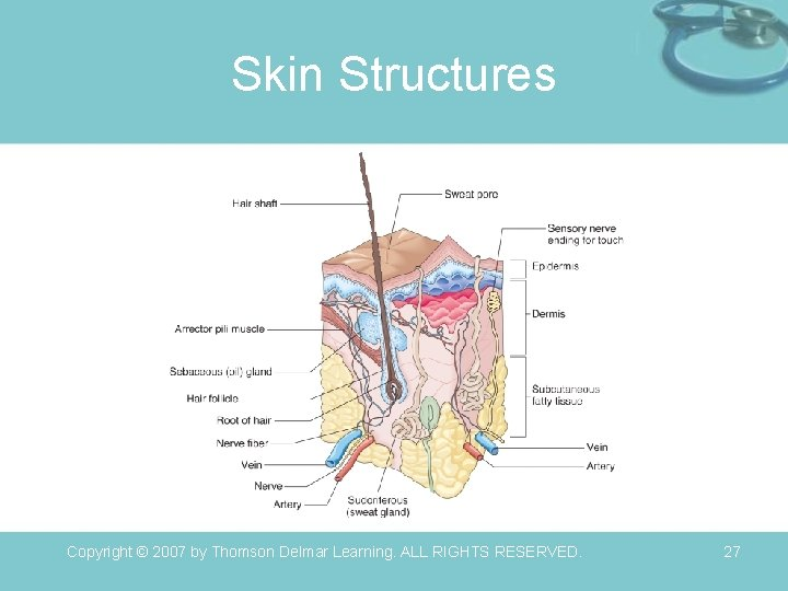 Skin Structures Copyright © 2007 by Thomson Delmar Learning. ALL RIGHTS RESERVED. 27