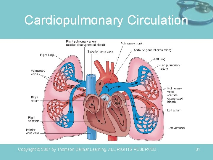 Cardiopulmonary Circulation Copyright © 2007 by Thomson Delmar Learning. ALL RIGHTS RESERVED. 31