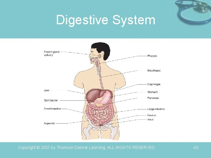 Digestive System Copyright © 2007 by Thomson Delmar Learning. ALL RIGHTS RESERVED. 43