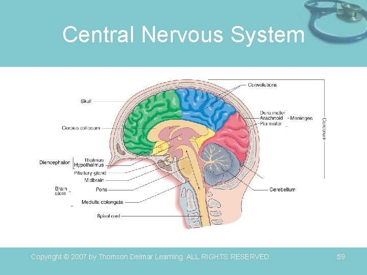 Central Nervous System Copyright © 2007 by Thomson Delmar Learning. ALL RIGHTS RESERVED. 59