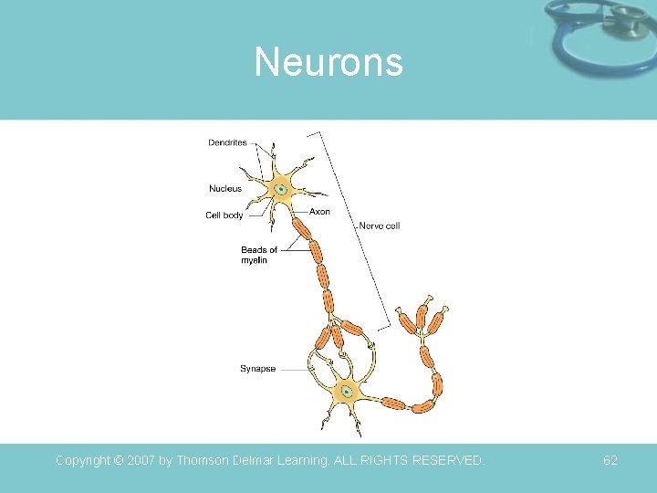 Neurons Copyright © 2007 by Thomson Delmar Learning. ALL RIGHTS RESERVED. 62
