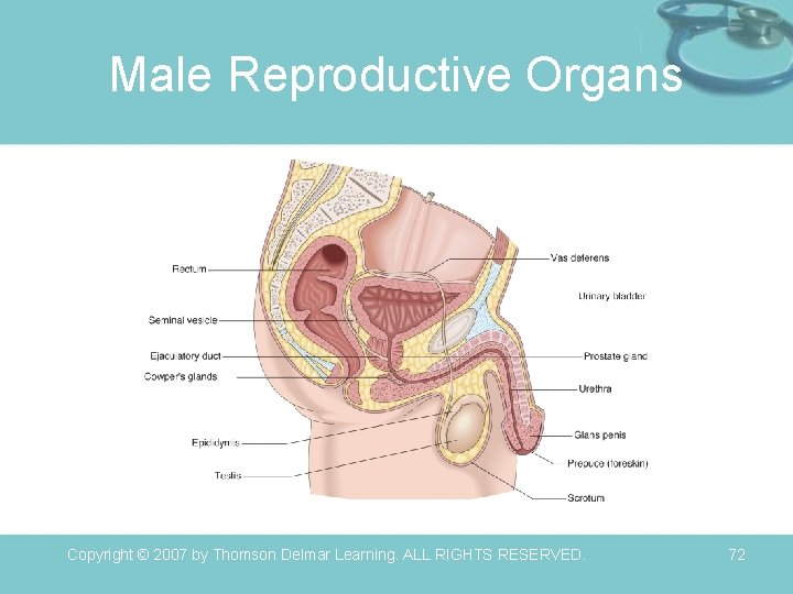 Male Reproductive Organs Copyright © 2007 by Thomson Delmar Learning. ALL RIGHTS RESERVED. 72