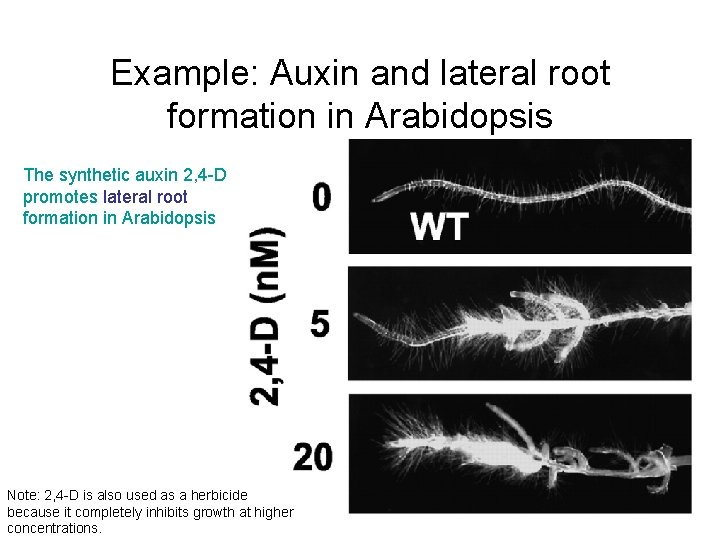 Example: Auxin and lateral root formation in Arabidopsis The synthetic auxin 2, 4 -D
