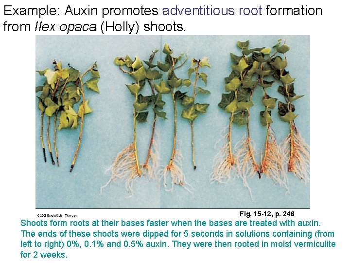 Example: Auxin promotes adventitious root formation from Ilex opaca (Holly) shoots. Fig. 15 -12,
