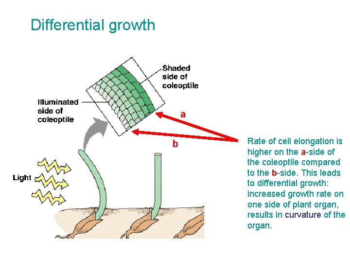 Differential growth a b Rate of cell elongation is higher on the a-side of