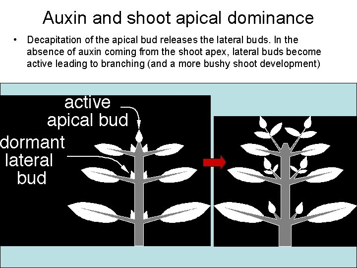 Auxin and shoot apical dominance • Decapitation of the apical bud releases the lateral