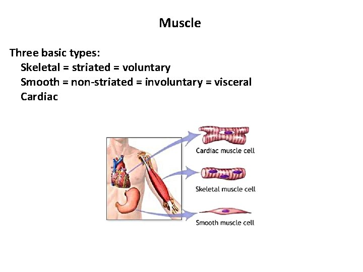 Muscle Three basic types: Skeletal = striated = voluntary Smooth = non-striated = involuntary