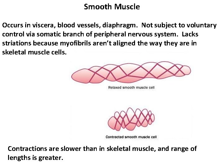 Smooth Muscle Occurs in viscera, blood vessels, diaphragm. Not subject to voluntary control via