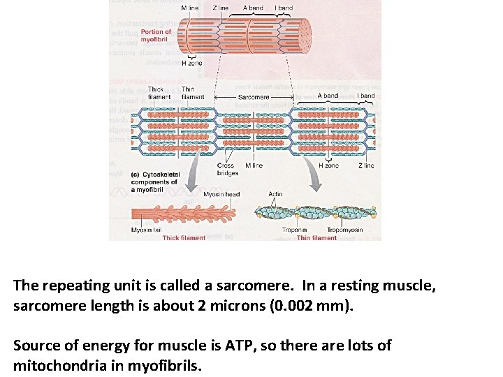 The repeating unit is called a sarcomere. In a resting muscle, sarcomere length is