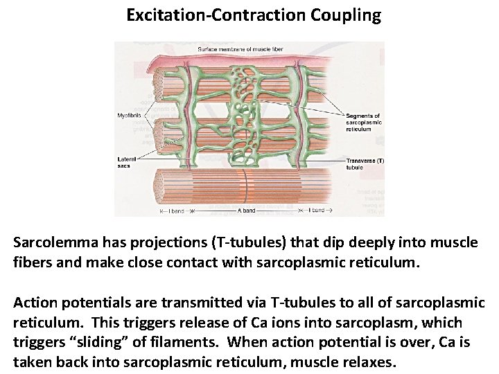 Excitation-Contraction Coupling Sarcolemma has projections (T-tubules) that dip deeply into muscle fibers and make