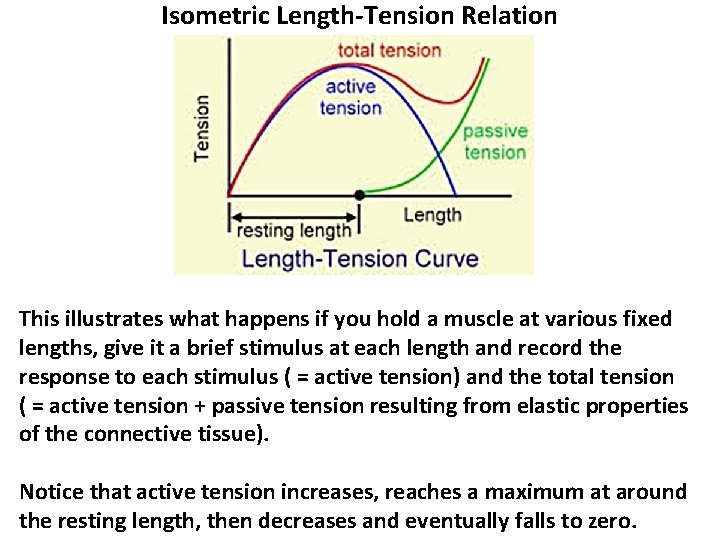 Isometric Length-Tension Relation This illustrates what happens if you hold a muscle at various