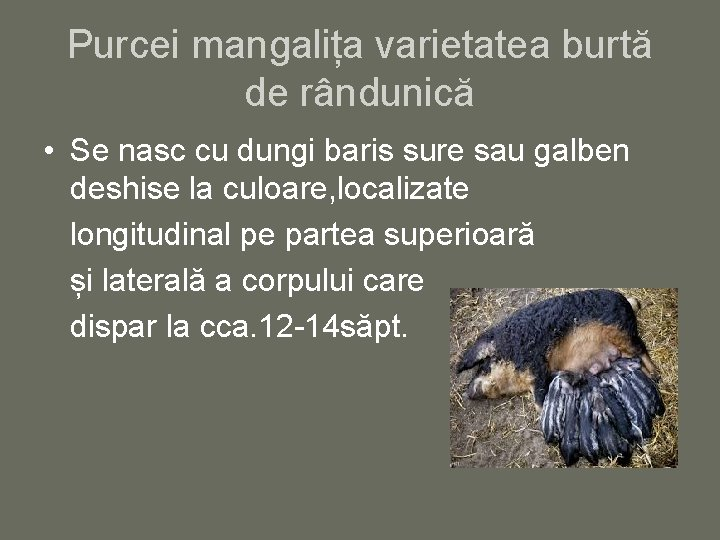 Purcei mangalița varietatea burtă de rândunică • Se nasc cu dungi baris sure sau