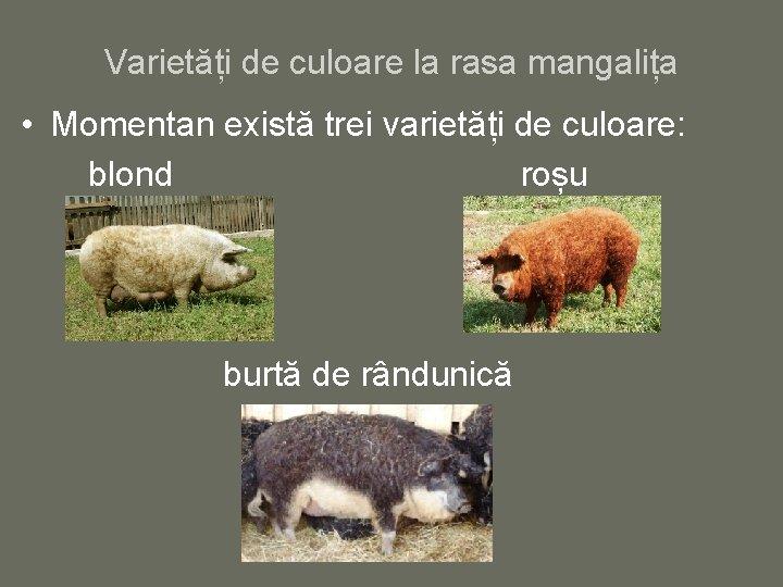 Varietăți de culoare la rasa mangalița • Momentan există trei varietăți de culoare: blond