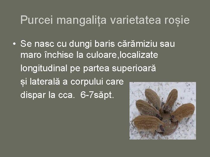Purcei mangalița varietatea roșie • Se nasc cu dungi baris cărămiziu sau maro închise