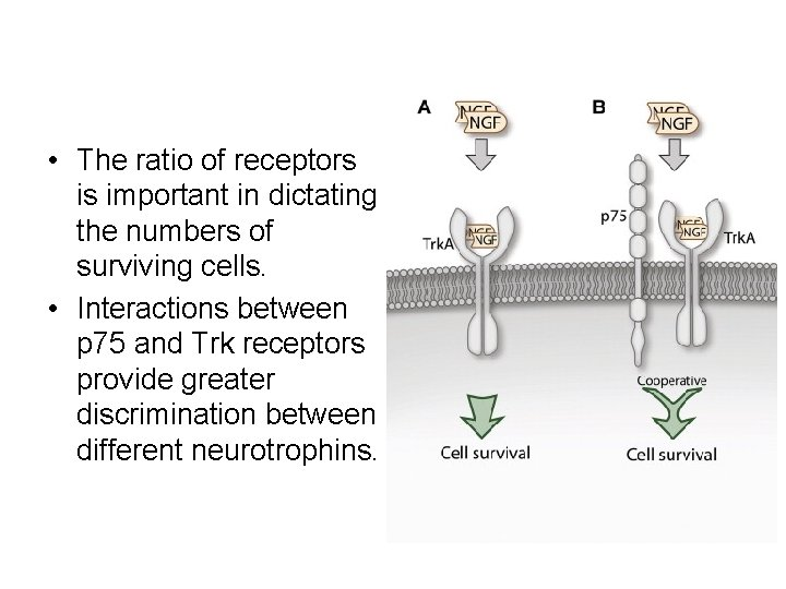 • The ratio of receptors is important in dictating the numbers of surviving