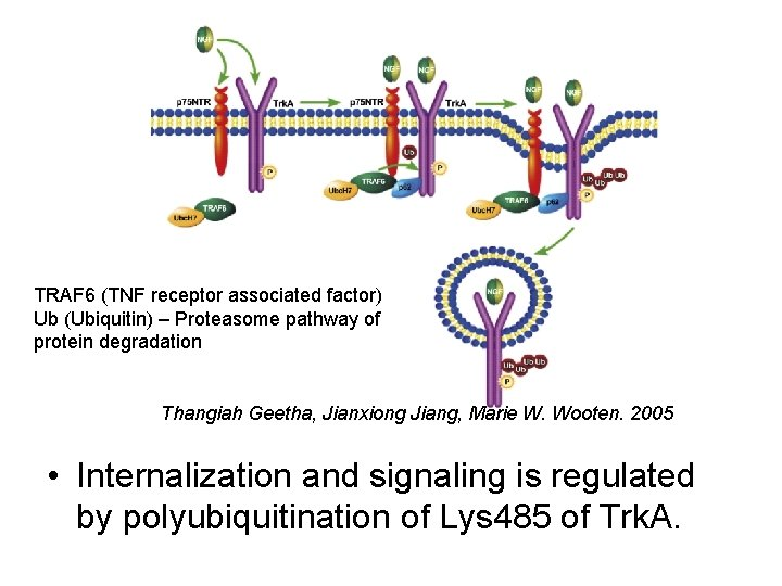 TRAF 6 (TNF receptor associated factor) Ub (Ubiquitin) – Proteasome pathway of protein degradation