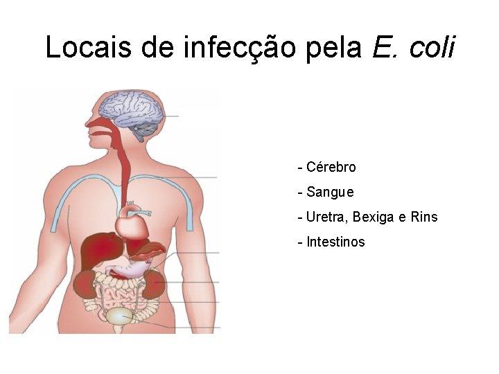 Locais de infecção pela E. coli - Cérebro - Sangue - Uretra, Bexiga e