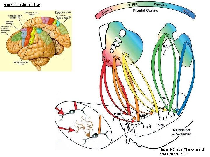http: //thebrain. mcgill. ca/ Haber, N. S. et. al. The journal of neuroscience, 2000.