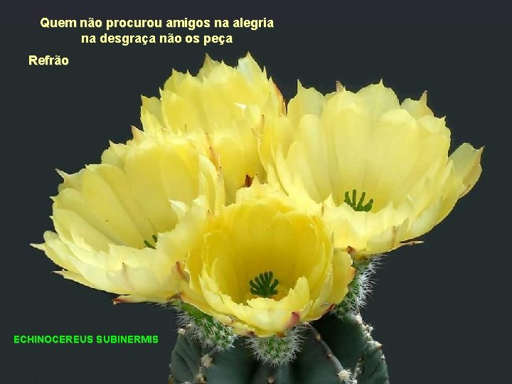 Quem não procurou amigos na alegria na desgraça não os peça Refrão ECHINOCEREUS SUBINERMIS