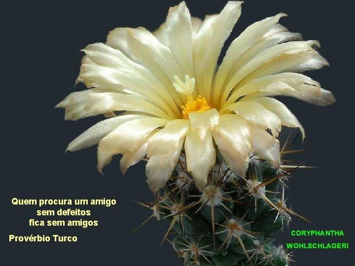 Quem procura um amigo sem defeitos fica sem amigos Provérbio Turco CORYPHANTHA WOHLSCHLAGERI