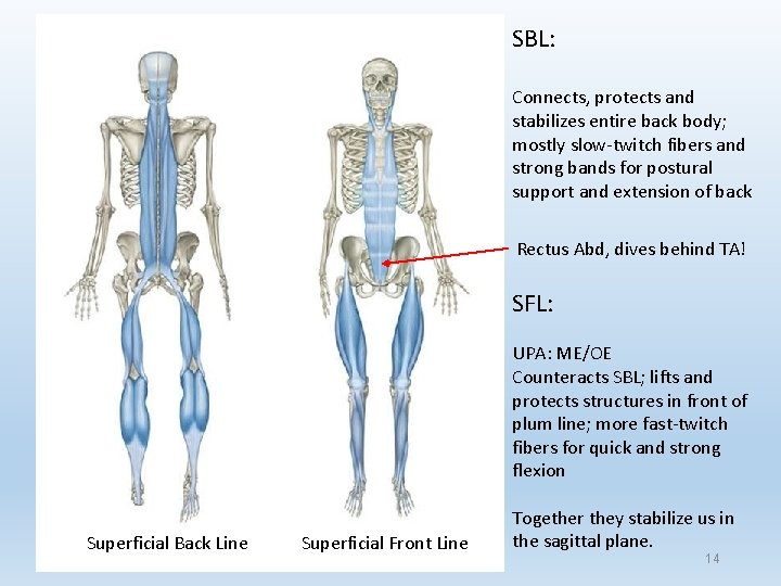 SBL: Connects, protects and stabilizes entire back body; mostly slow-twitch fibers and strong bands