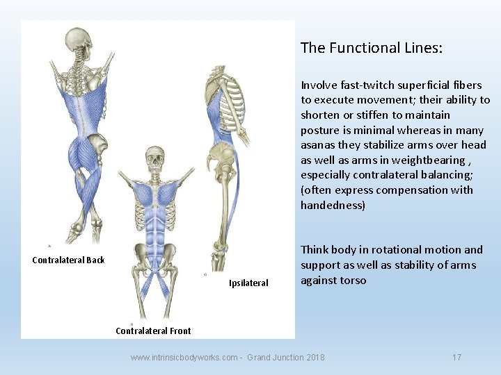 The Functional Lines: Involve fast-twitch superficial fibers to execute movement; their ability to shorten