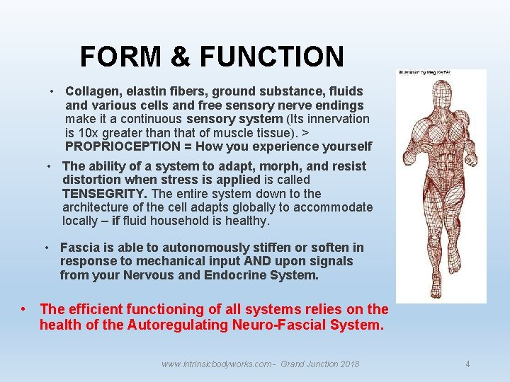 FORM & FUNCTION • Collagen, elastin fibers, ground substance, fluids and various cells and