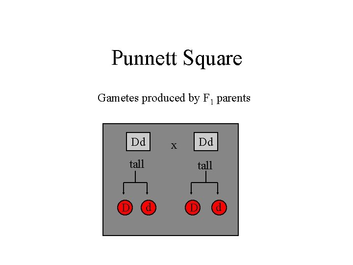 Punnett Square Gametes produced by F 1 parents Dd tall D Dd x tall