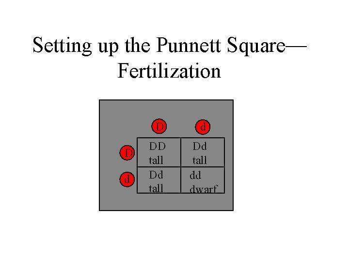 Setting up the Punnett Square— Fertilization D d DD tall Dd tall dd dwarf