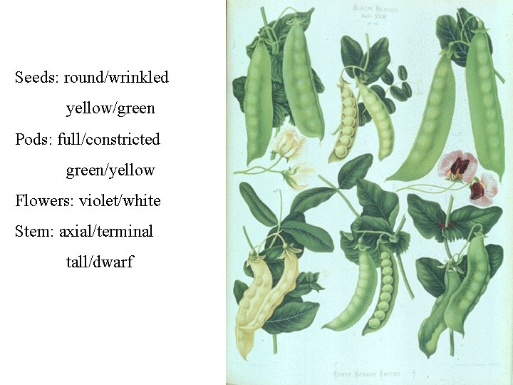 Seeds: round/wrinkled yellow/green Pods: full/constricted green/yellow Flowers: violet/white Stem: axial/terminal tall/dwarf