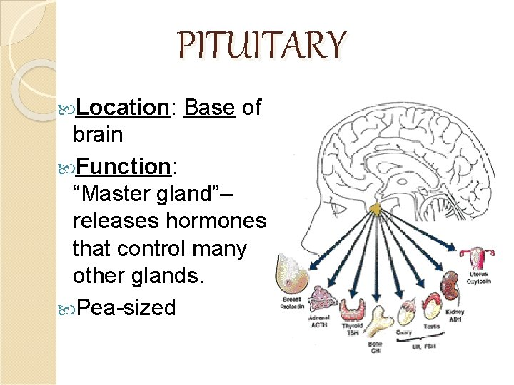 """PITUITARY Location: Base of brain Function: """"Master gland""""– releases hormones that control many other"""