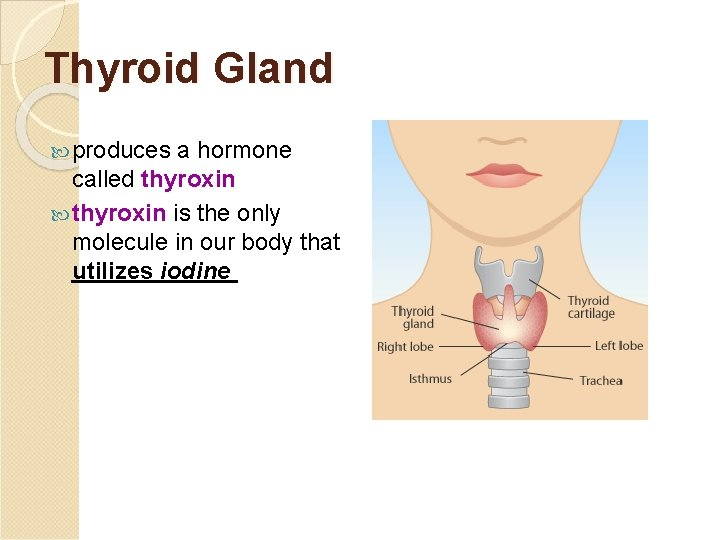 Thyroid Gland produces a hormone called thyroxin is the only molecule in our body