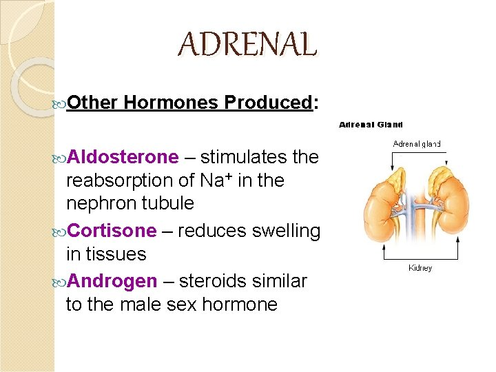 ADRENAL Other Hormones Produced: Aldosterone – stimulates the reabsorption of Na+ in the nephron