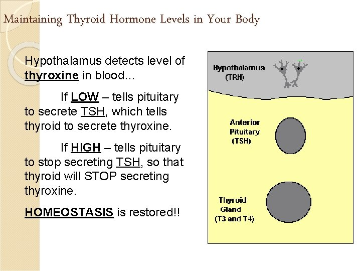 Maintaining Thyroid Hormone Levels in Your Body Hypothalamus detects level of thyroxine in blood…