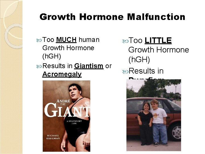 Growth Hormone Malfunction Too MUCH human Growth Hormone (h. GH) Results in Giantism or