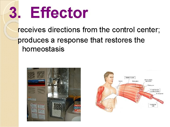 3. Effector receives directions from the control center; produces a response that restores the